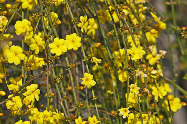 Jasminum nudiflorum – Foto