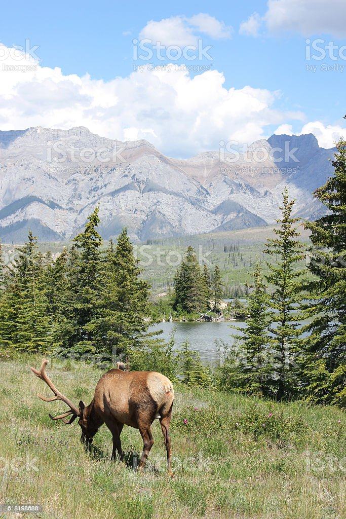 Jasper Elk eating grass near lake stock photo
