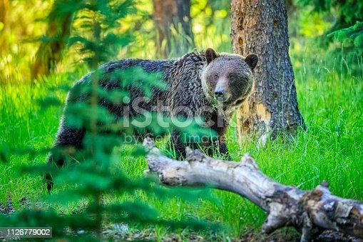 istock Jasper National Park in Alberta Canada 1126779002
