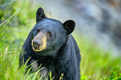 Black Bear in Jasper National Park, Canada
