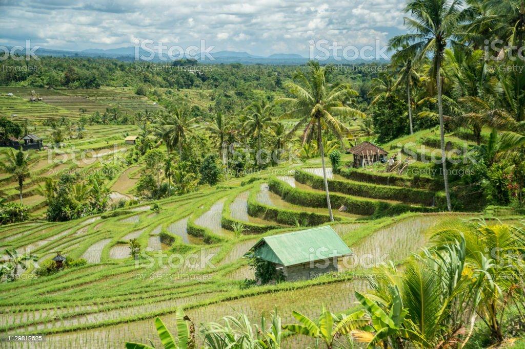 Jatiluwih Rice Terraces Landscape In Bali Indonesia Stock Photo