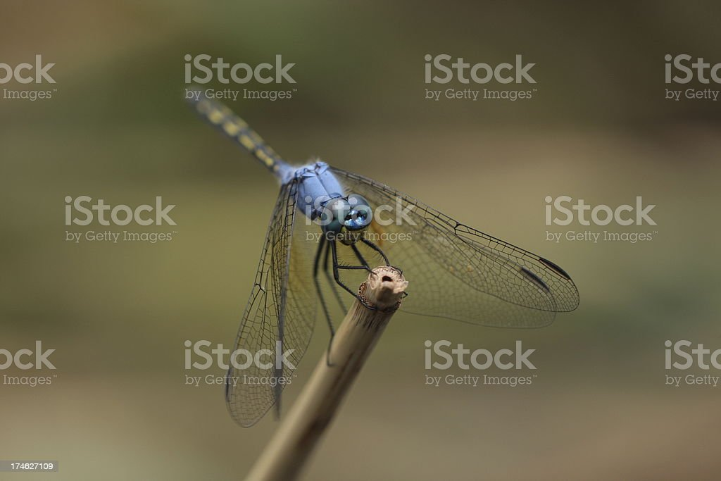 Jaunty Dropwing Dragonfly stock photo