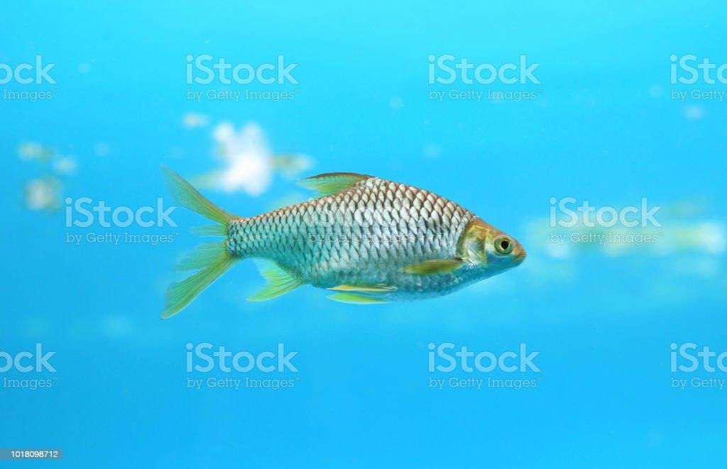 Java barb fish. stock photo