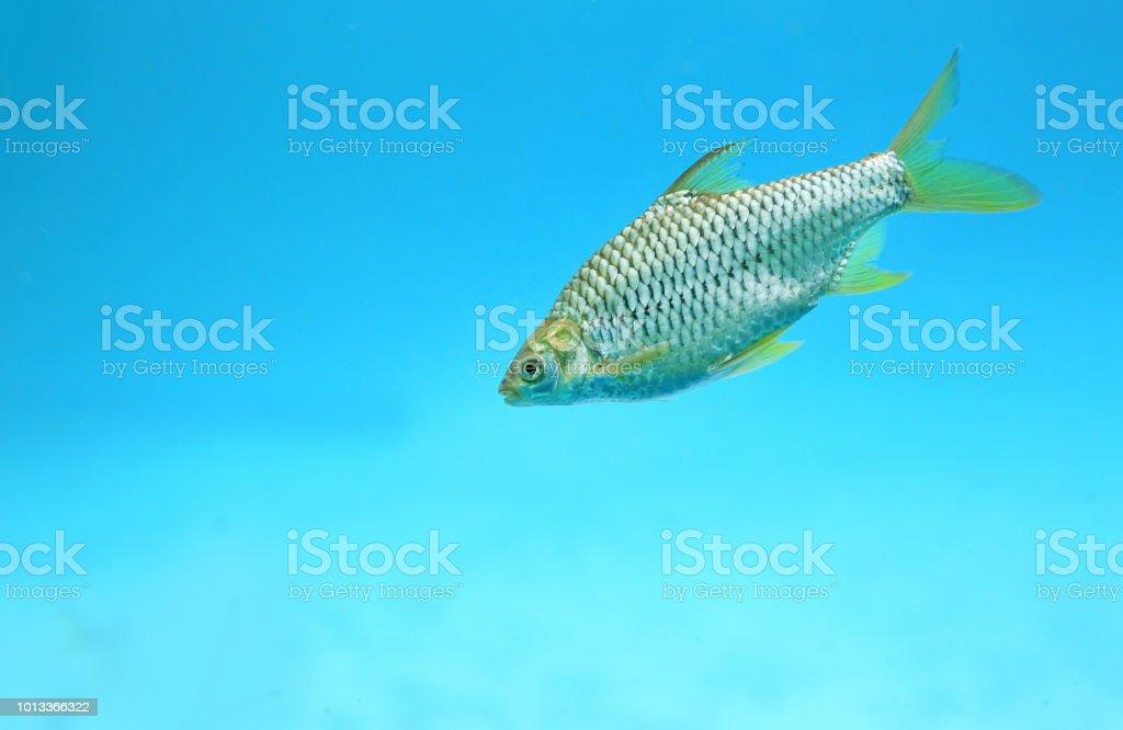 Java barb fish (Barbonymus gonionotus) swimming in aquarium. stock photo