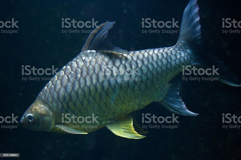 Java barb (Barbonymus gonionotus). stock photo