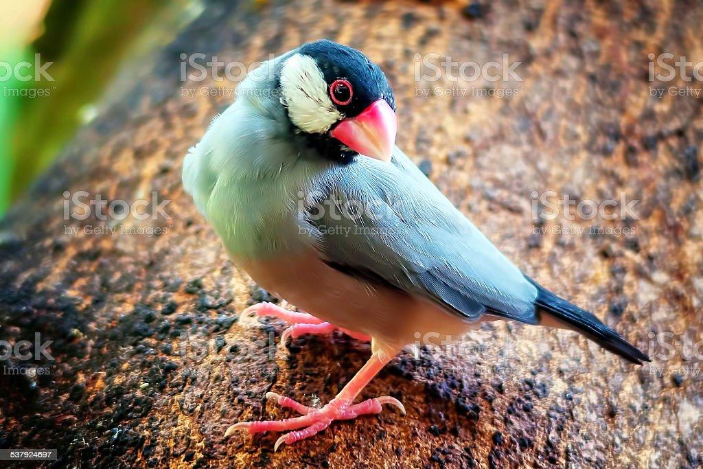Java Finch stock photo
