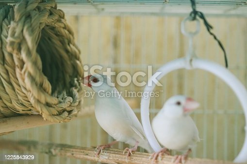 Java sparrow for pet