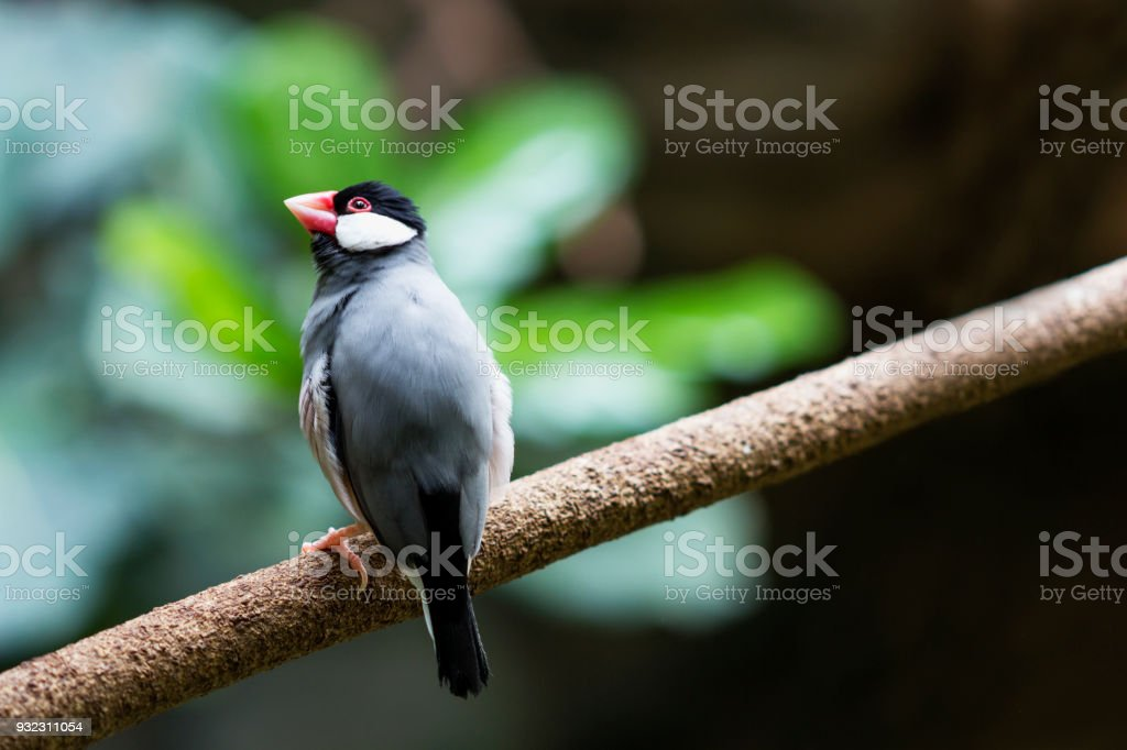 Java Sparrow Stock Photo & More Pictures of Animal   iStock