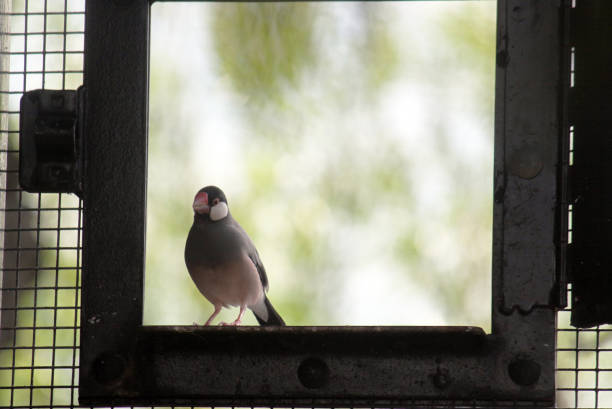 Java Sparrow stock photo