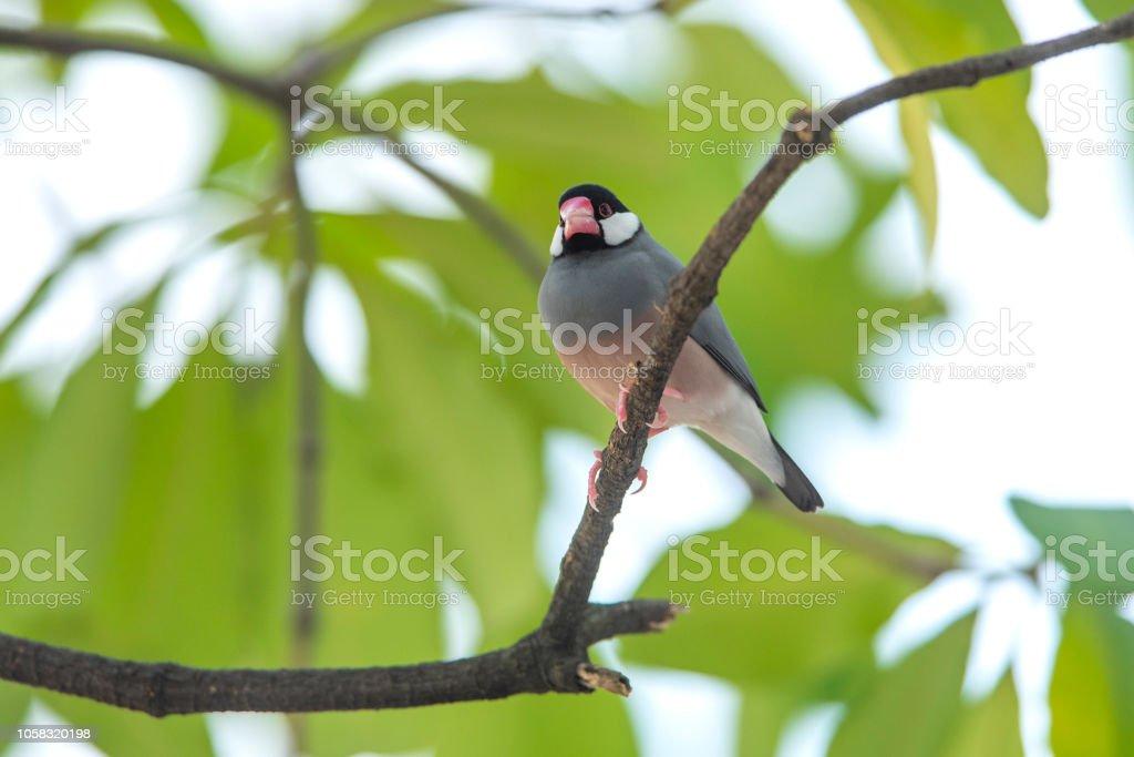 Java Sparrow,beautiful bird in nature