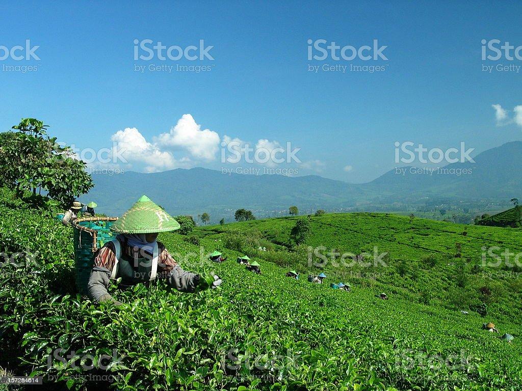 Java, Tea Picker in Indonesia royalty-free stock photo
