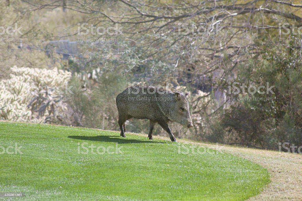 Javalina Warthog on Grass stock photo