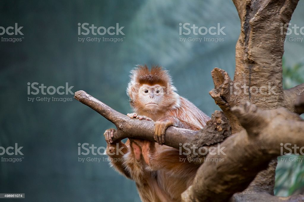 Javan lutung (Trachypithecus auratus) stock photo