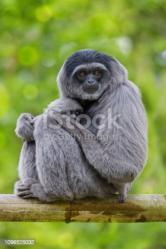 Javan Gibbon ( Hylobates moloch ) Gibbons are apes in the family Hylobatidae. The family historically contained one genus, but now is split into four genera and 18 species.