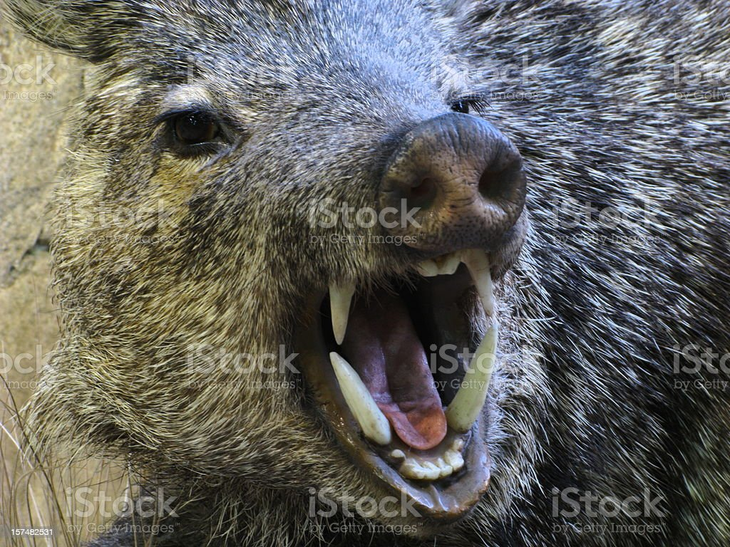 Javelina Angry Boar Pig Peccary Fangs stock photo