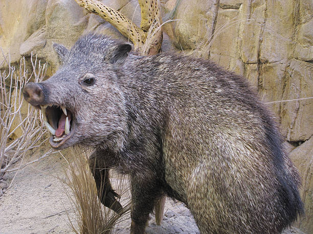 javelina angry boar pig peccary fangs - javelina stock pictures, royalty-free photos & images