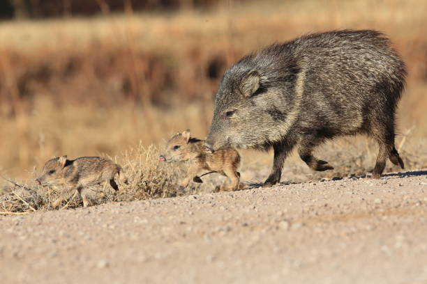 javelina in bosque del apache national wildlife refuge, new mexico. - javelina stock pictures, royalty-free photos & images