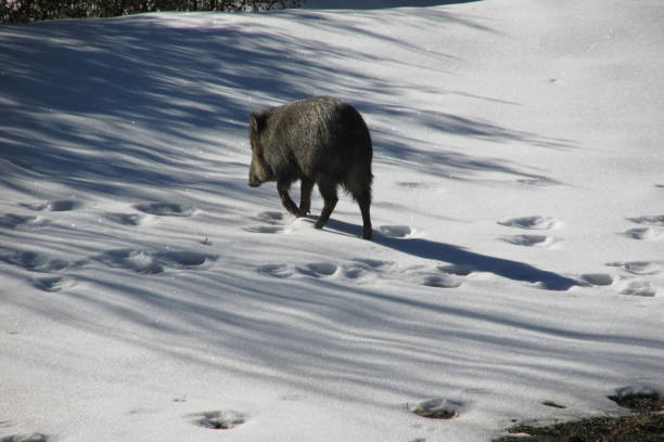 Javelina in the snow A large javelina, or collared peccary (Tayassu tajacu) in a snowy landscape, walking away from the camera. javelina stock pictures, royalty-free photos & images