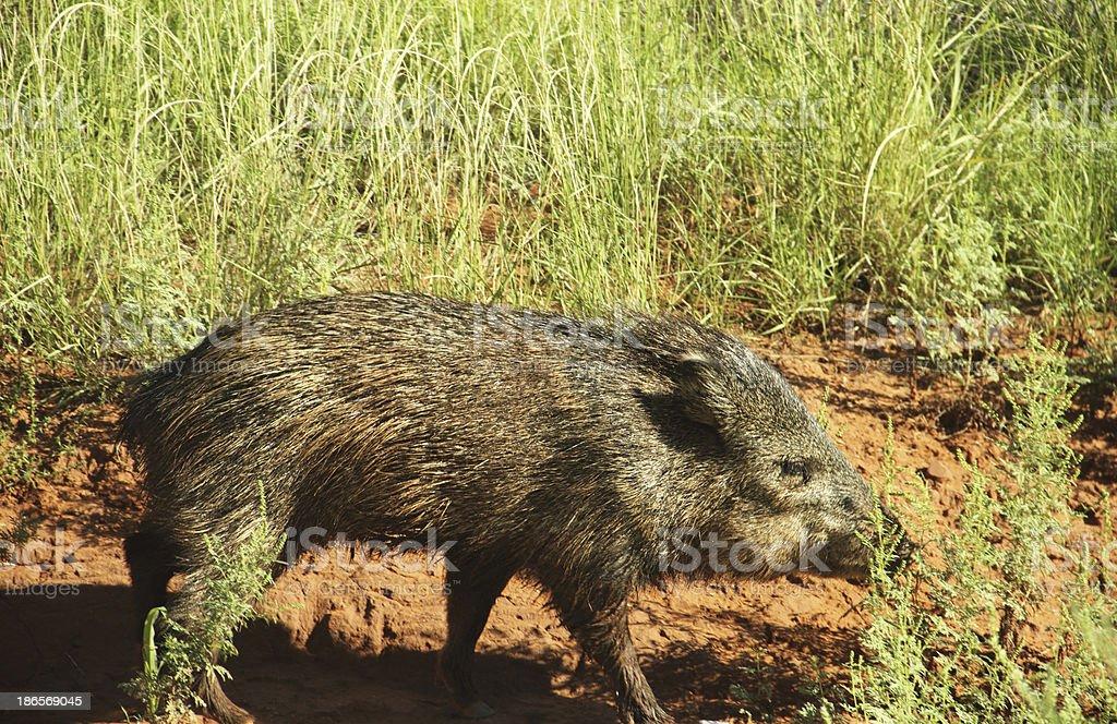 Javelina Peccary Pig Wild royalty-free stock photo