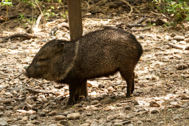Javelina A javelina scratching on a post javelina stock pictures, royalty-free photos & images