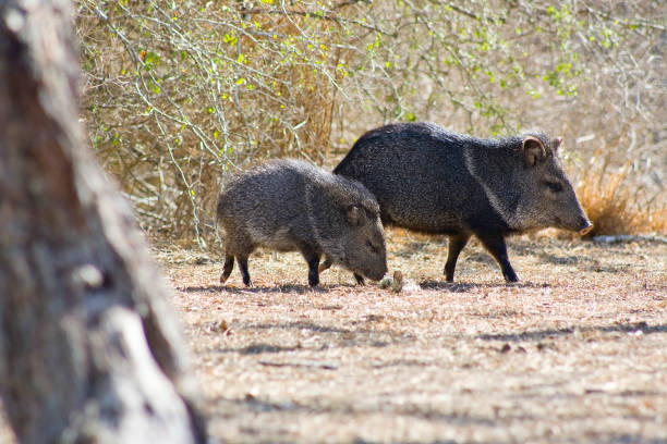 javelina - javelina stock pictures, royalty-free photos & images