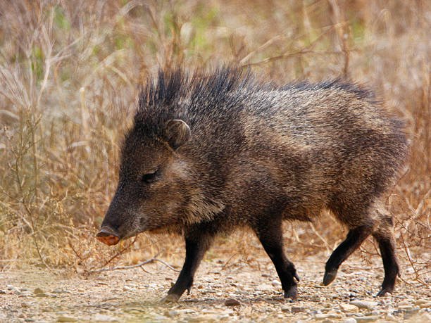 javelina profile - javelina stock pictures, royalty-free photos & images