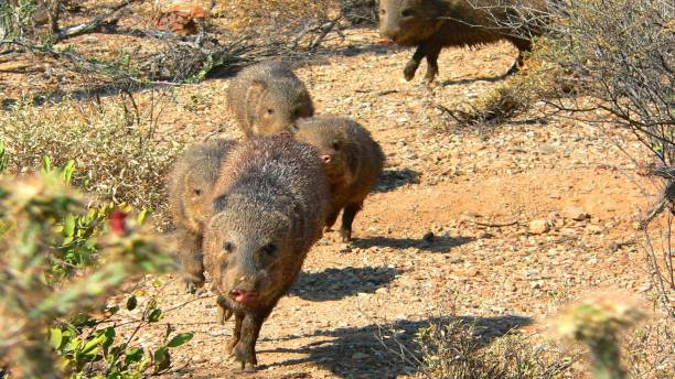 Javelina Stampede A small herd of javelin running through the Sonoran Desert. javelina stock pictures, royalty-free photos & images