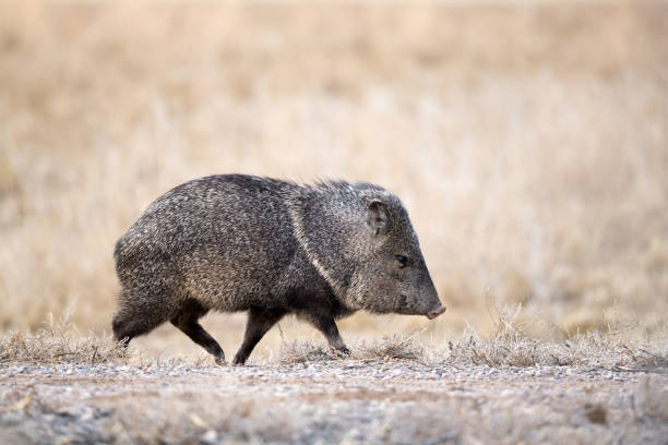 javelina walking on farm road - javelina stock pictures, royalty-free photos & images