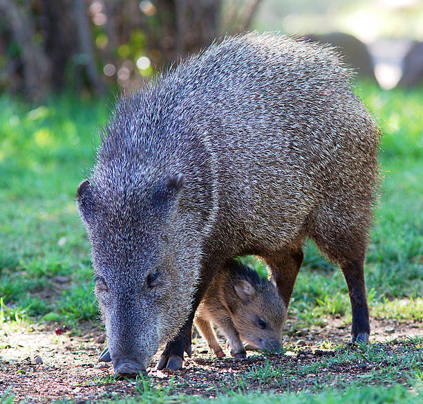 javelina with young - javelina stock pictures, royalty-free photos & images