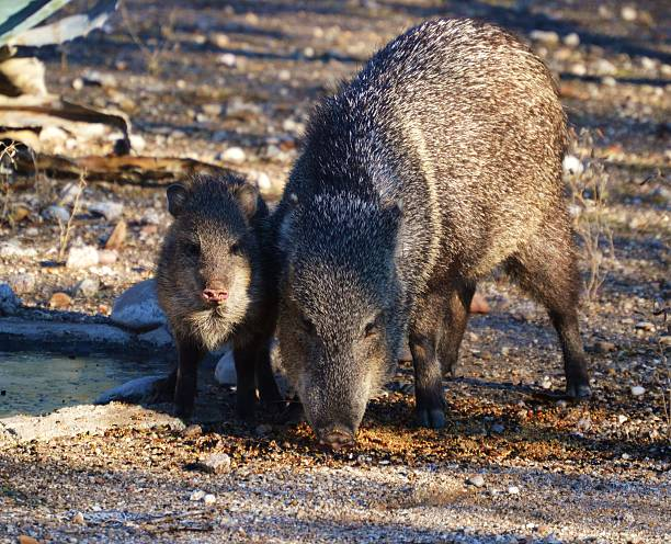 javelinas in arizona - javelina stock pictures, royalty-free photos & images