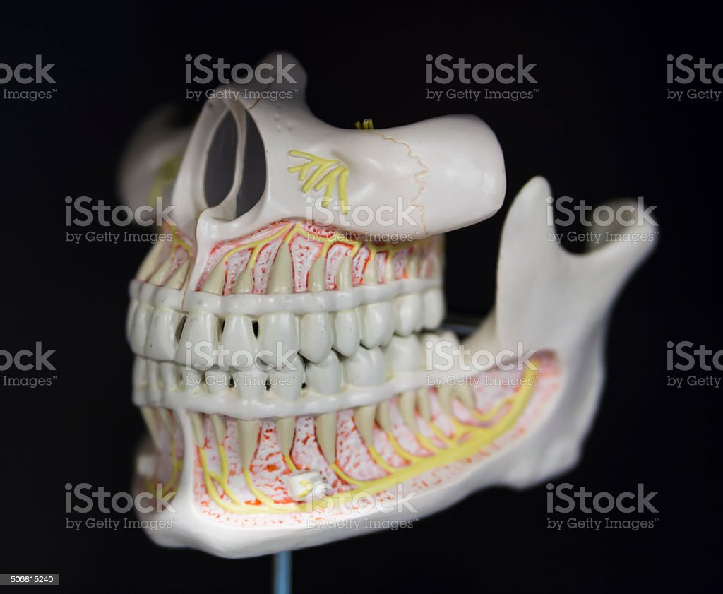 Jaw Anatomy Of The Skull Based Layout Stock Photo & More Pictures of ...