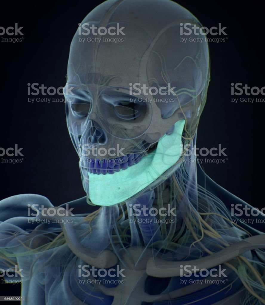 Jawbone Human Anatomy 3d Illustration Stock Photo More Pictures Of