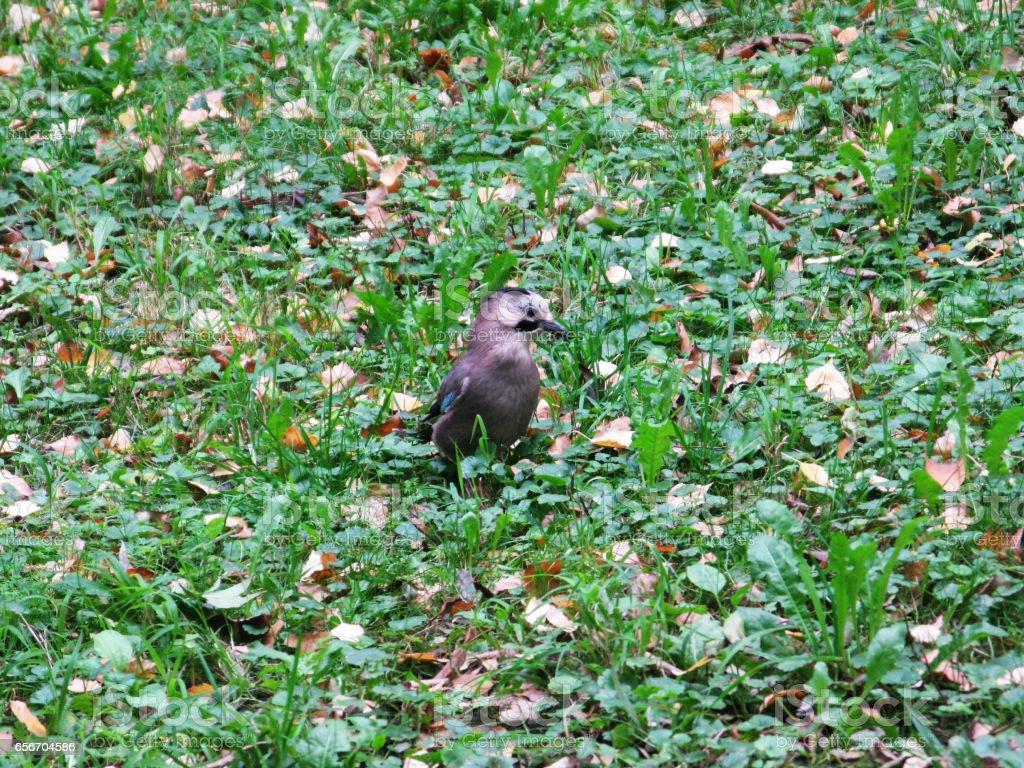 Jay bird animal on the grass photo stock photo