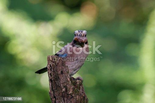 Jay eating an acorn