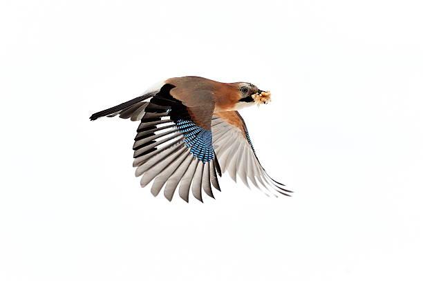 Jay flying picture id177245535?b=1&k=6&m=177245535&s=612x612&w=0&h=26dd fzodwp pjffyrlnhnod60lvajpuvux6nfh8dl4=
