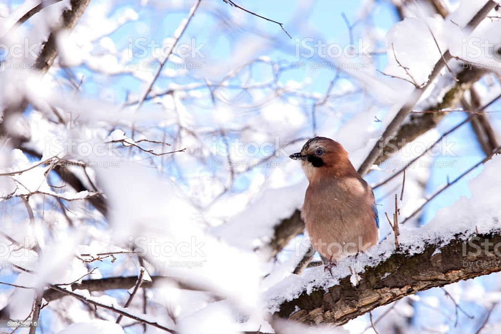 Jay on snowy branch stock photo