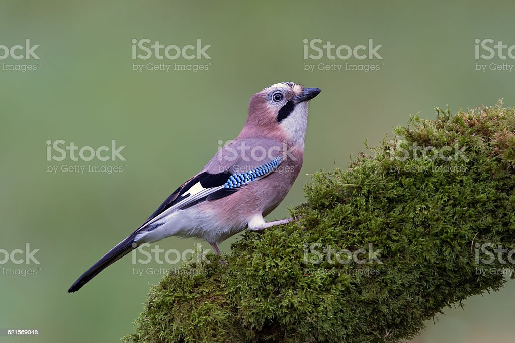 Jay (Garrulus Glandarius photo libre de droits