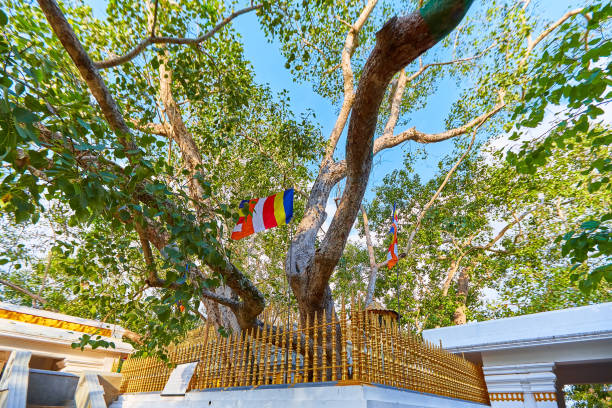 Jaya Sri Maha Bodhi is a sacred fig tree in the Mahamewna Gardens, Anuradhapura. A sacred place for Buddhists on Sri Lanka stock photo