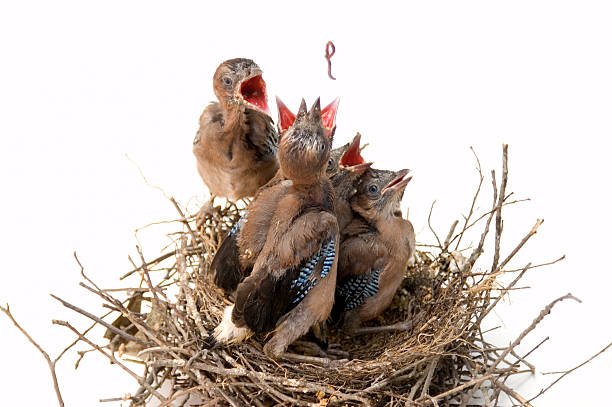 Jays on nest fighting for a worm. stock photo