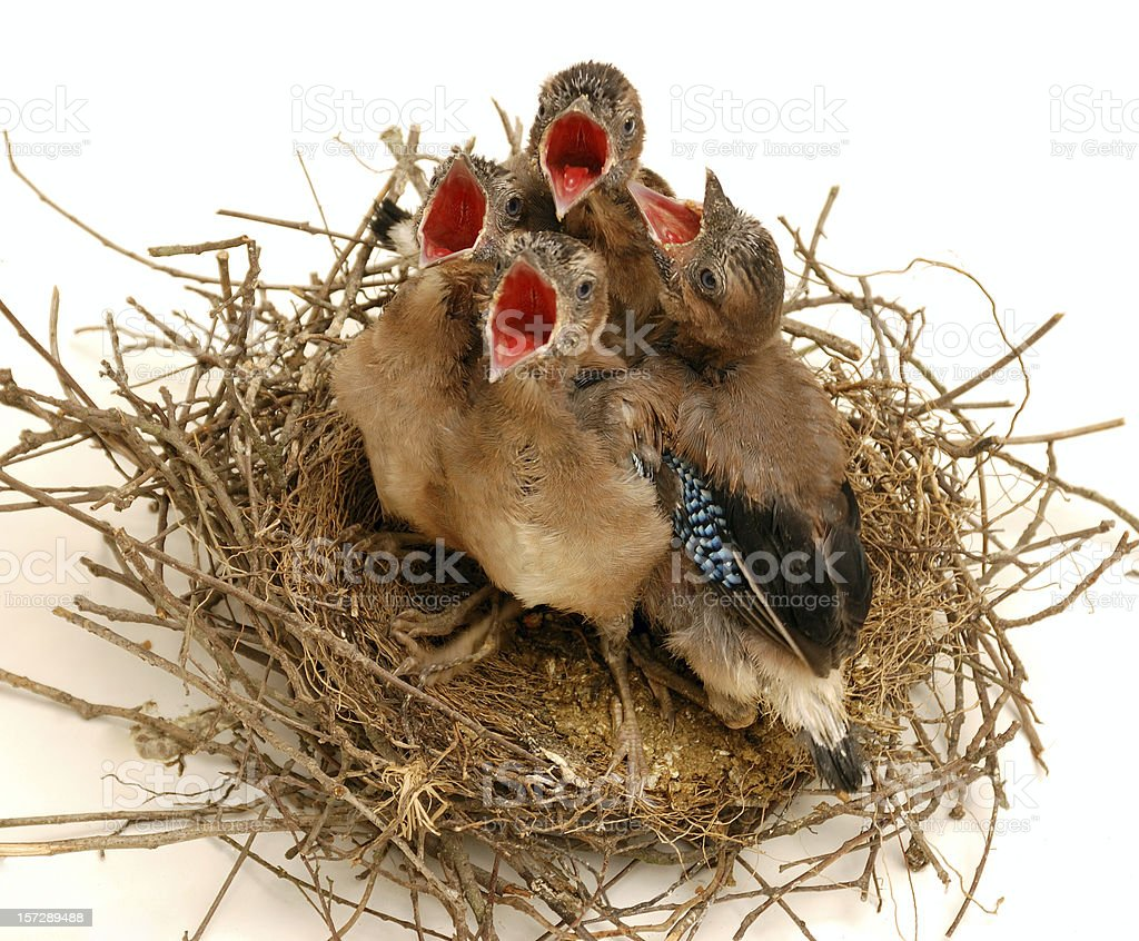 Jays on nest (Isolated ) royalty-free stock photo