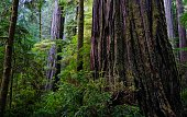 Northwest California's Redwood National Park.\nJed Smith Redwoods State Park.\nBoy Scout Tree Trail.