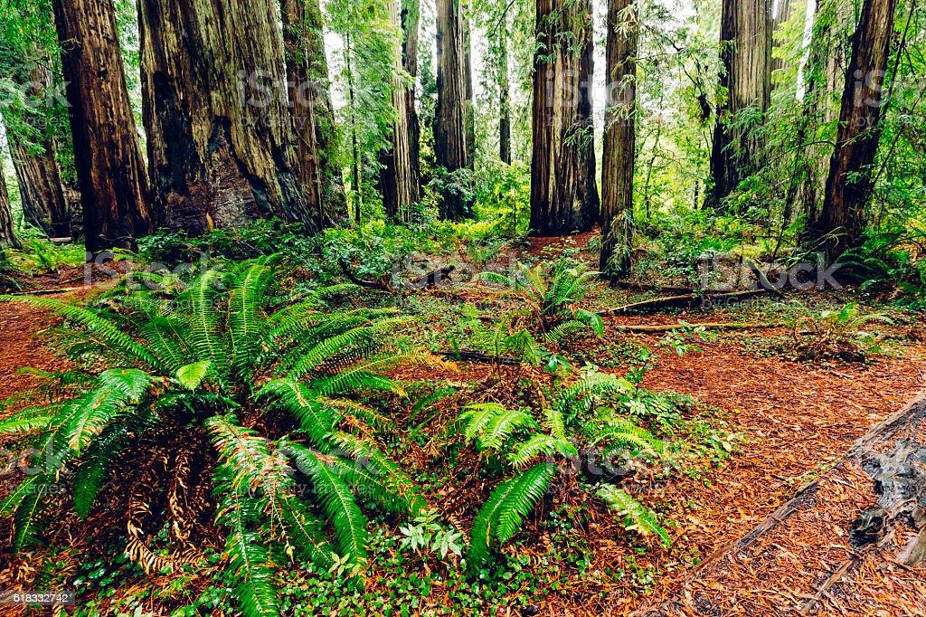 Jedediah Smith Redwoods State Park, California stock photo