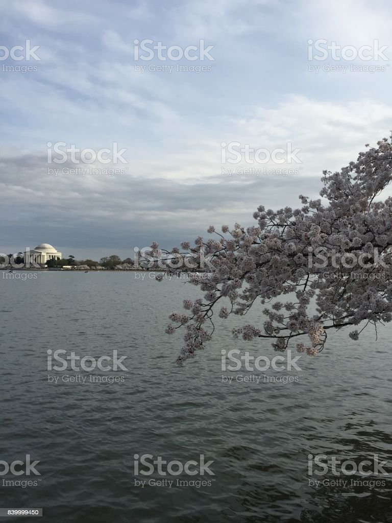 Jefferson Memorial during the National Cherry Blossom Festival stock photo