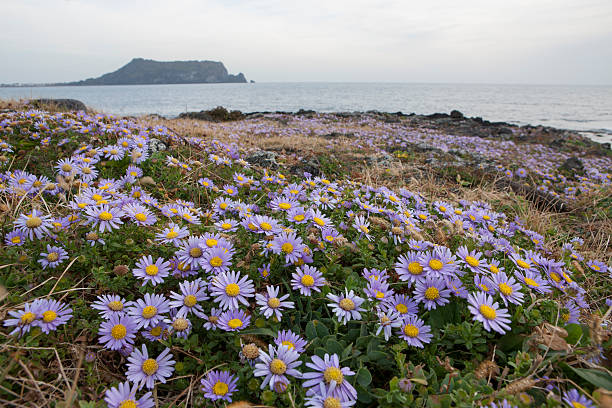 jeju, chrysanthemum(Aster spathulifolius) South Korea, Jeju Island, Seogwipo, Seongsan, bloom of beach, chrysanthemum(Aster spathulifolius), seogwipo stock pictures, royalty-free photos & images