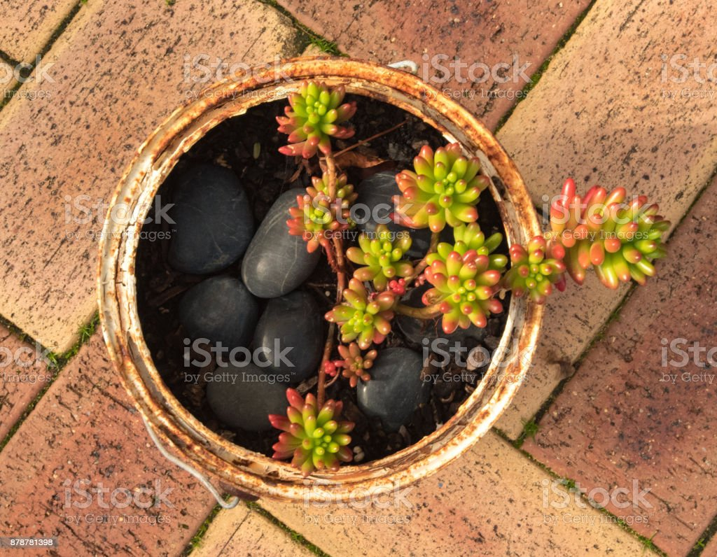 jelly bean succulent in old paint can stock photo