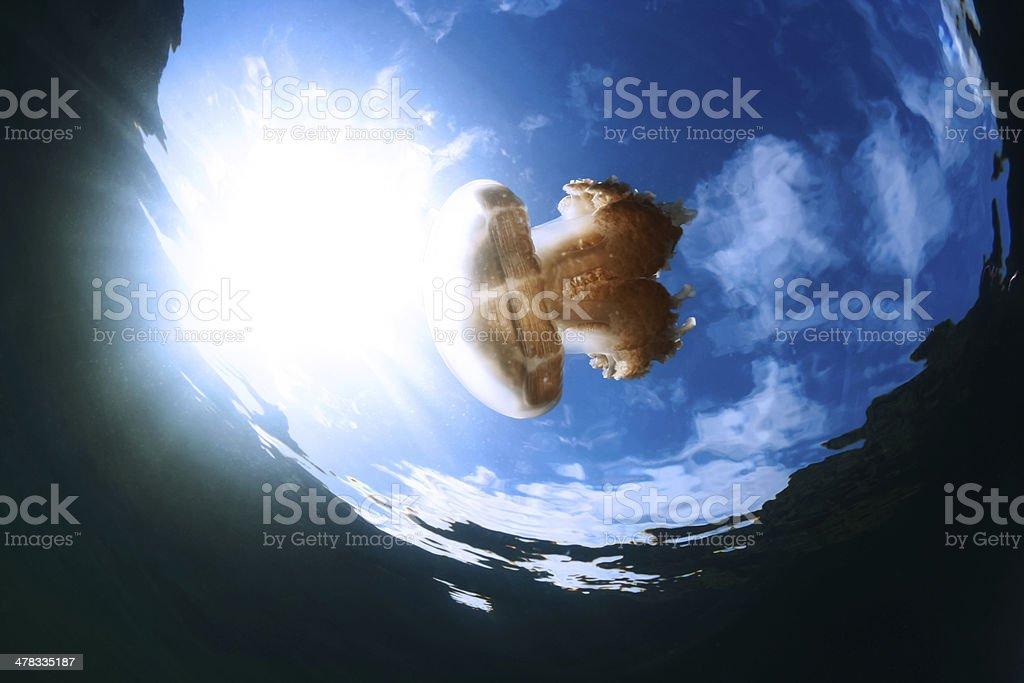 Jelly Fish Lake - Palau, Micronesia royalty-free stock photo