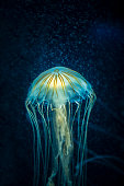 A stock photo of a Jelly Fish. Photographed using the Canon EOS 1DX Mark II and Canon 100mm f2.8 IS L series lens.