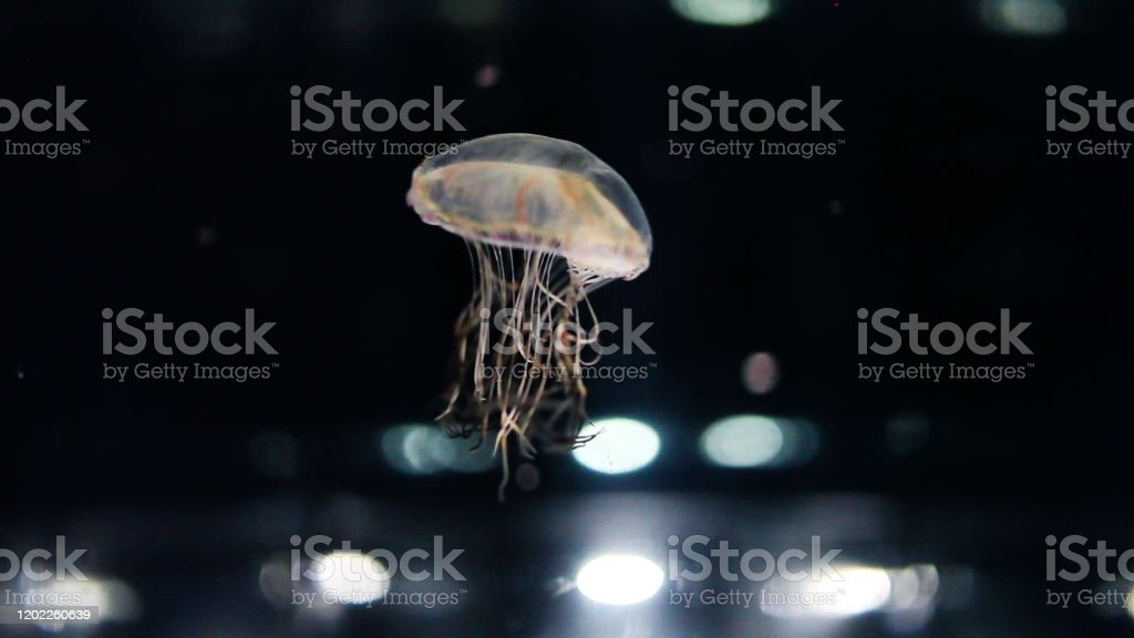 Jelly Fish Swimming In Front Of Dark Background With Light Effects Stock Photo Download Image Now Istock