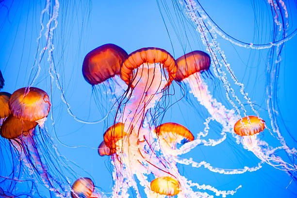 jellyfish floating in water - manet bildbanksfoton och bilder