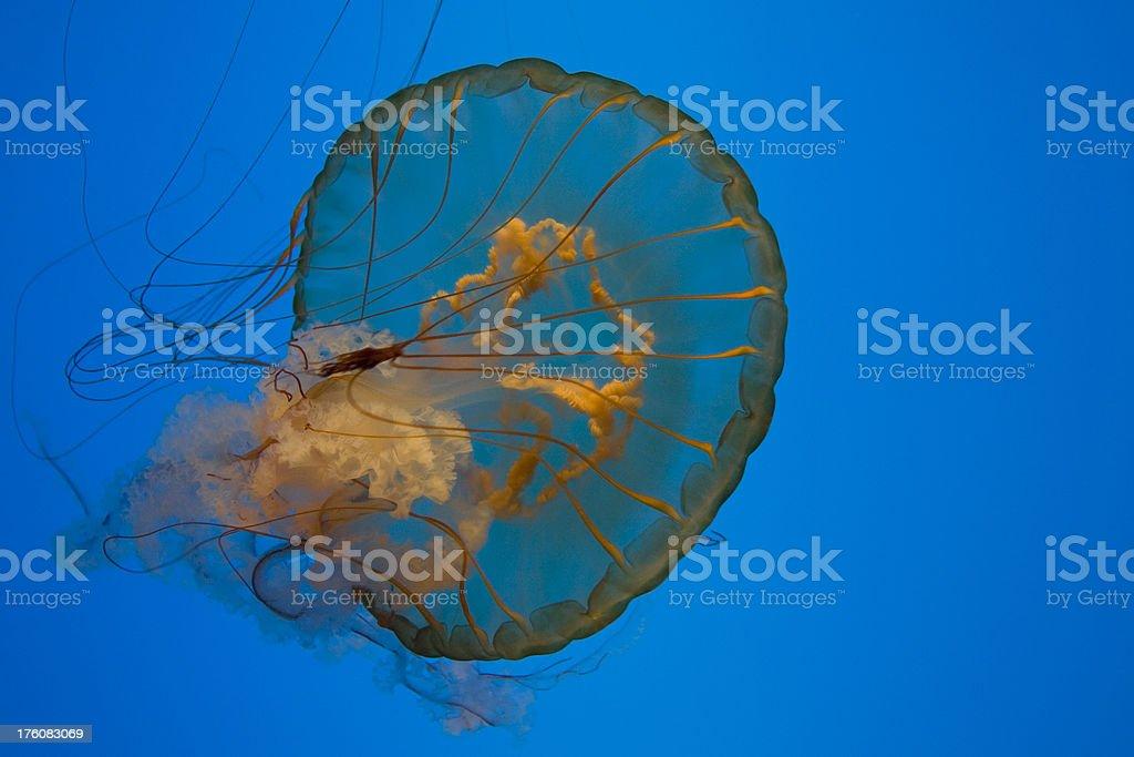 Jellyfish from Below stock photo